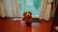 Beagle en adopción *Urgente*